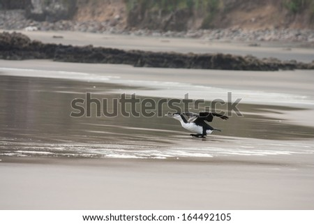 taking off cormorant - stock photo
