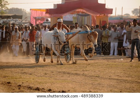 TALEGAON, AMRAVATI, MAHARASHTRA, INDIA, 17 JANUARY 2012 : Bullock cart racing, bullock racing is the traditional festival of Maharashtra's farmer.