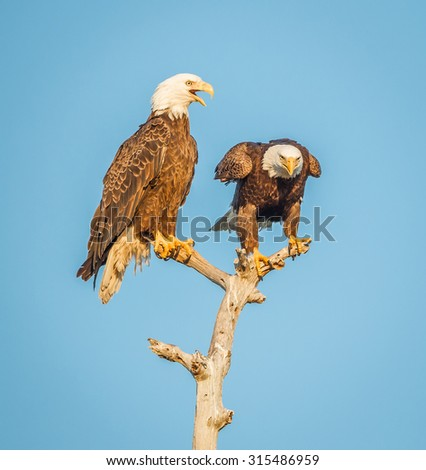 Talking american bald eagles - stock photo