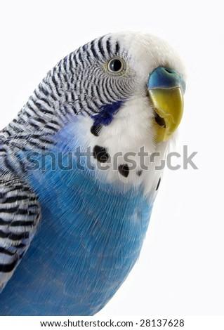Talking blue wavy parrot. The Portrait. - stock photo