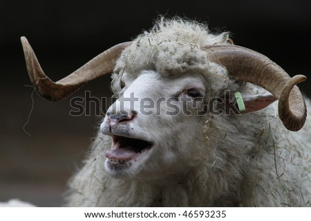 talking sheep - stock photo
