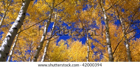 Tall aspen trees and blue sky, in the Gunnison National Forest of Colorado, photographed during the autumn season. - stock photo