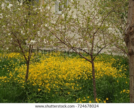 Tall buttercup masses yellow flowers spring stock photo royalty masses of yellow flowers in spring yellow flowers young trees begin mightylinksfo