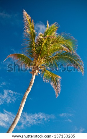 Tall coconut palm tree set against a blue sky with a few white clouds.  copy space available. - stock photo