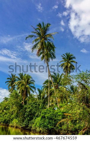 Tall coconut trees with their fruits still attached to them alon