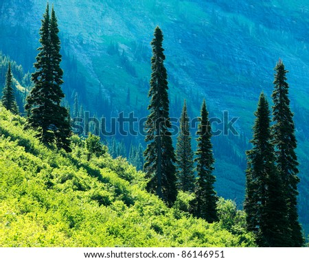 Tall coniferous trees stand tall on the side of a grassy mountain slope. - stock photo