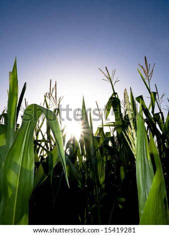 Tall  corn field against summer sun - stock photo