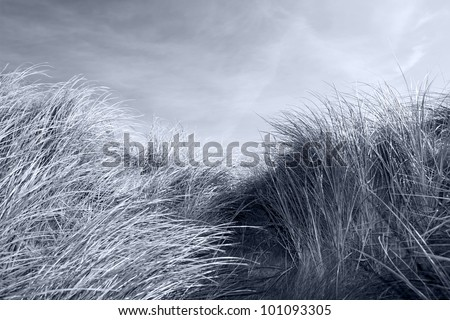 tall dune grass on the coast of Kerry Ireland gently blowing in the breeze in black and white - stock photo