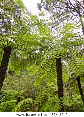 Tall ferns on the forest floor in Australia