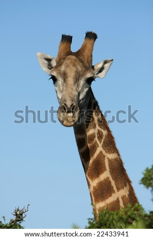 Tall giraffe looking over the African trees - stock photo