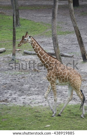 Tall Giraffe walking through the trees with classic pattern and long neck. - stock photo