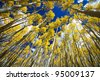 Tall golden aspen trees surround the viewer in a thick forest in Colorado. - stock photo