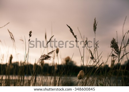 Tall grass against a sunset sky. Lake scenery.