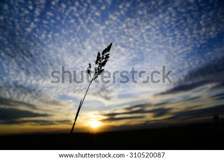tall grass silhouette. Brilliant Tall Tall Grass Silhouette At Sunny Cloudy Golden Sunset Quebec Canada With Grass Silhouette