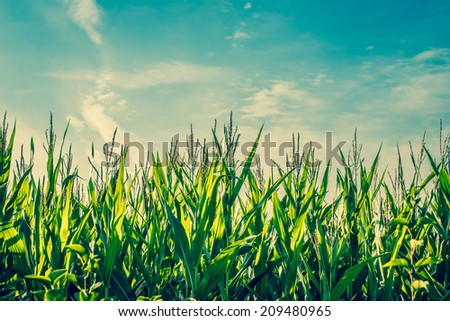 Tall green corn crops with blue sky - stock photo