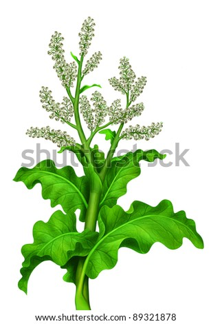 tall green plant with beige flowers - stock photo