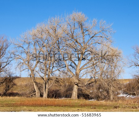 Tall, lovely and majestic bare cottonwood trees in a field of new green grasses in early spring, in light of late afternoon on the Colorado prairie.