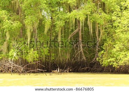 TALL MANGROVE PLANTS FROM THE ORDER OF BRUGUIERA GYMNORRHIZA IN A BRIGHT SUNNY DAY ECUADOR COASTLINE NOTICE THE TIDE SIZE THAT APPEAR ON THE ROOTS OF THESE PLANTS   - stock photo