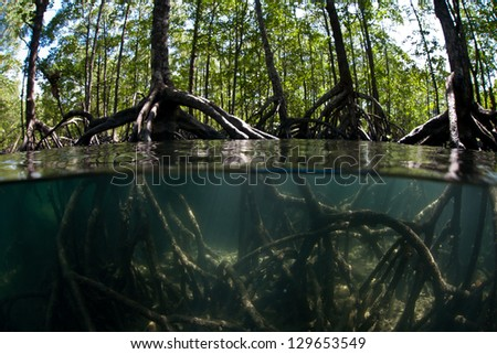 Tall mangrove trees (Rhizophora sp.) rise out of the shallow waters of the Mergui Archipelago in Myanmar.  This set of islands has both extensive mangrove forests and diverse coral reefs. - stock photo