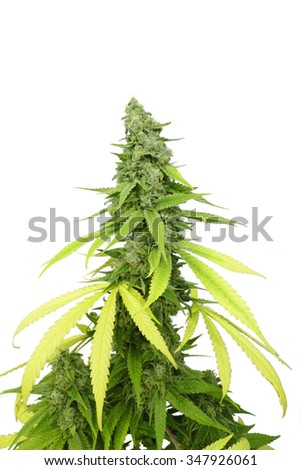 Tall Marijuana Bud on Grown Cannabis Plant Isolated by White Background - stock photo