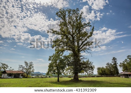 Tall oak - stock photo