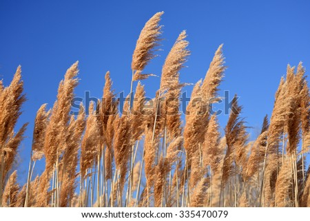 tall ornamental grass against a blue sky - stock photo