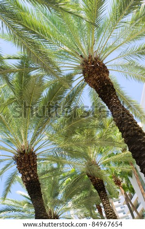 Tall palm trees along a popular South Beach street in Miami with a clear blue sky background. - stock photo