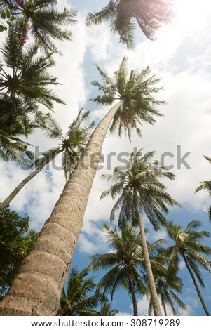 Tall Palm Trees in Senggigi, Lombok, Indonesia - stock photo