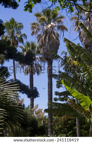 tall palm trees located in the Tropical Botanical garden of Lisbon, Portugal. - stock photo