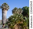 Tall palms and cottonwoods at Cottonwood Springs oasis in Joshua Tree National Park in California - stock photo