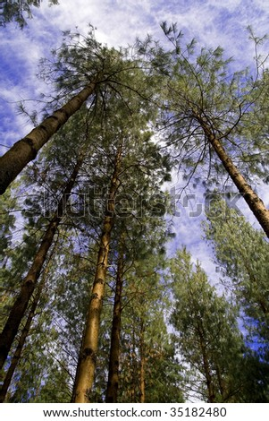 Tall pine trees in Hogsback