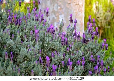 tall purple lavenders - stock photo