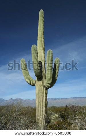 Tall Saguaro Cactus - Saguaro National Park, Sonoran Desert, Tucson, Arizona - stock photo