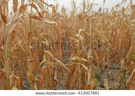 tall stalks mature dry corn in the agricultural field. Photographed. - stock photo