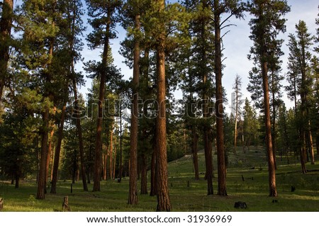 Tall, stately Ponderosa Pine trees showing the red rough bark they are known for in an open forest setting - stock photo