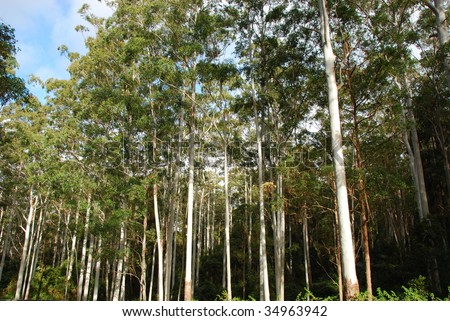 Tall Tree Forest - stock photo