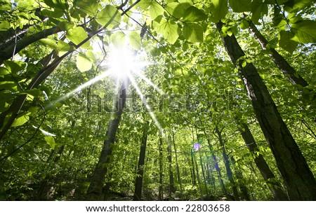 Tall Trees - stock photo