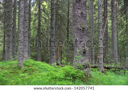 Tall trees and green layer of vegetation over ground - stock photo