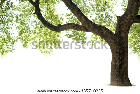 Tall trees isolated on white background - stock photo