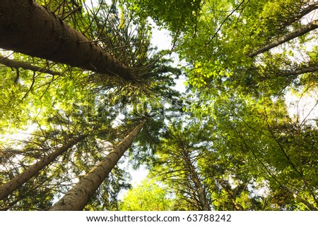 Tall trees viewed from bottom - stock photo