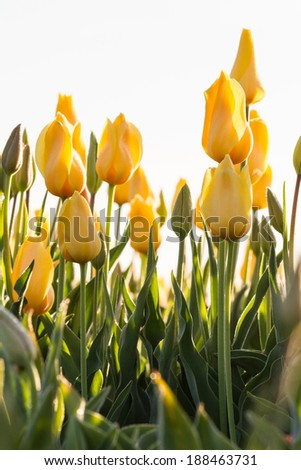 tall yellow tulips in springtime in a large field in Oregon - stock photo