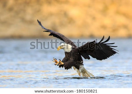 Talon out, the Bald Eagle has spotted its prey and diving down to hunt. - stock photo