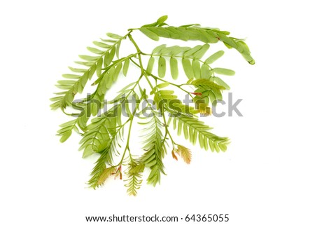 Tamarind leaf isolated - stock photo