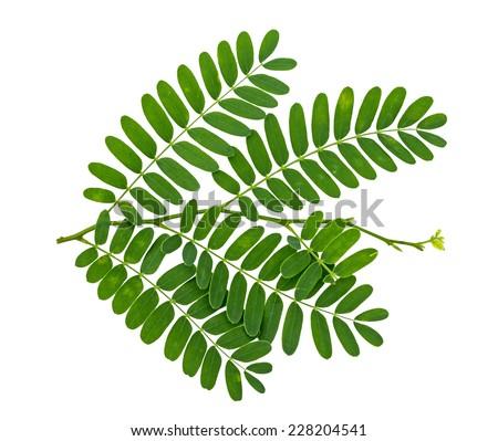 Tamarind leaf isolated on white background  - stock photo