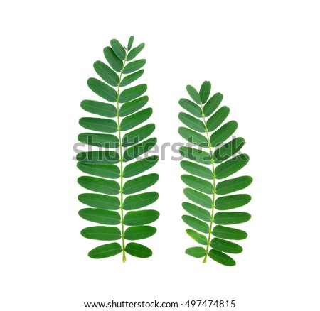 tamarind leaves on white background