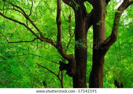 Tamarind tree,Luangprabang, ,Laos - stock photo