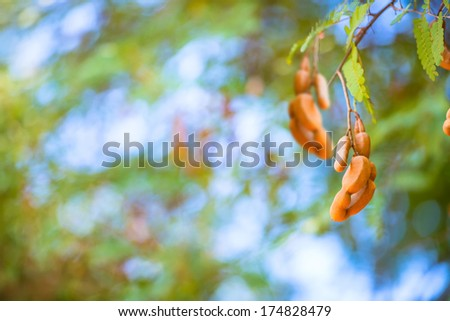 tamarind twig on green bright background