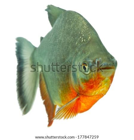 Tambaqui fish isolated on white, studio aquarium shot. - stock photo