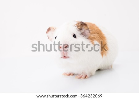 Tame curious pet isolated on white background. Cute white and brown guinea pig - stock photo