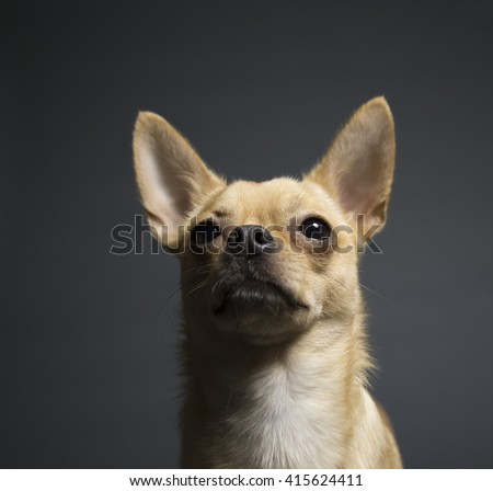 tan and fawn chihuahua portrait on gray background